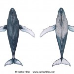 Humpback whale ventral view